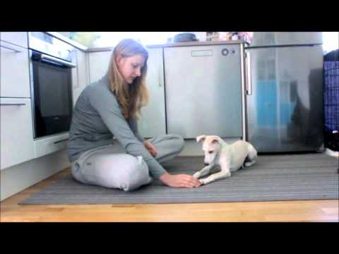 Self-controll training - Whippet 4 months