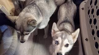 Good Morning at Nordic Mini Huskys Alaskan Klee Kai
