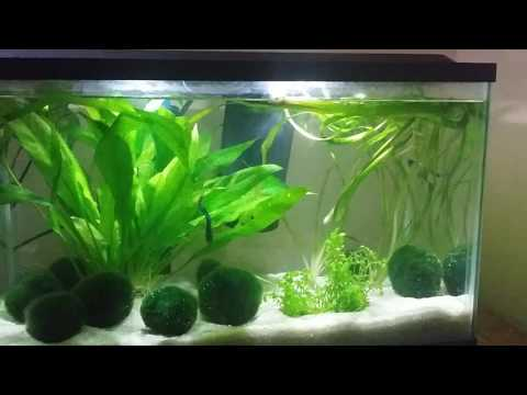 Betta plays in marimo moss