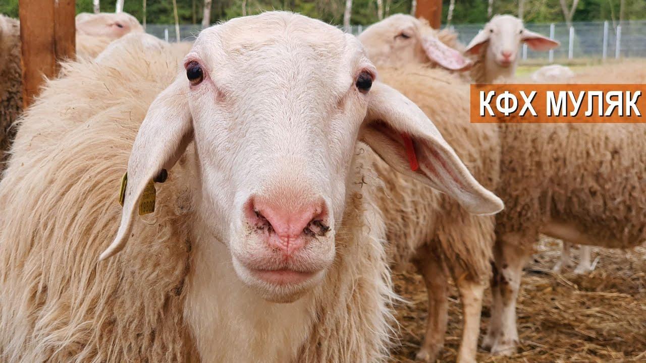 Не только овцы и козы на ферме Нины Муляк а ещё гуси и цесарки на свободном выгуле.