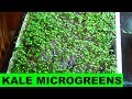 How to grow Kale Microgreens at Home from Start to Finish