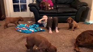 6weeks+1day old Irish Setter Puppies playing