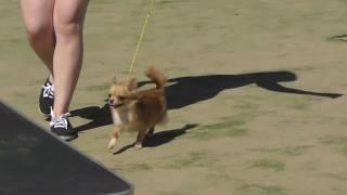 чихуахуа окрас рыжий, видео с выставки собак