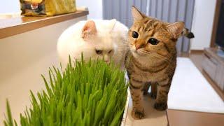 初めて見る山盛りの猫草に興味津々な猫!