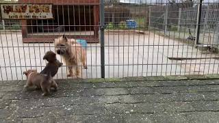 Cairn Terrier puppies playing