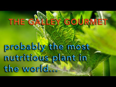 The Galley Gourmet cooks what is probably the most nutritious plant in the world