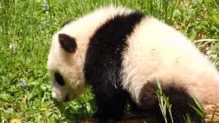 Giant Panda Bao Bao playing with branch