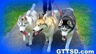 Siberian Husky In Nature | Beautiful | Wordless Wednesday