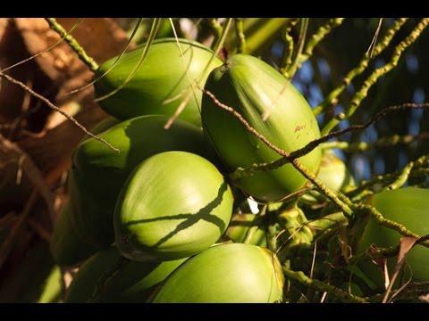 Вопрос: Как взобраться на кокосовую пальму?
