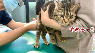 動物病院での治療を嫌々ながらも受け入れる猫