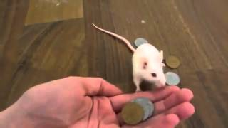 Дрессированная мышка - Trained mouse