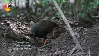 Nggak Salah Kasih Nama  Si Burung Gosong Kelam