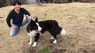 ボーダーコリーぼだクン(♂・1歳)の動画です(^^) ボールを投げる→キャ...