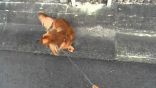 土佐犬のすぐそばを通る 散歩コース。 この小さいカラダで 土佐犬2頭に...