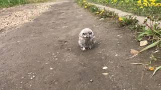 Owl and husky -домовый сыч Ныча