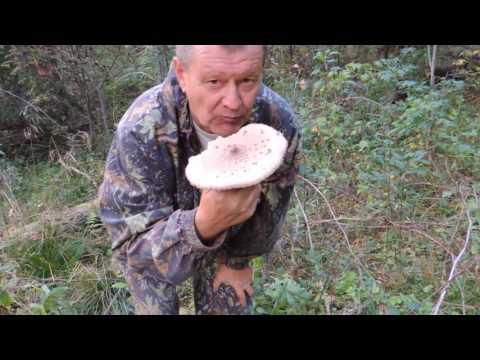 Гриб-зонтик 🍄 пёстрый: быстрый обед 🍽 в лесу. (Macrolepiota procera).