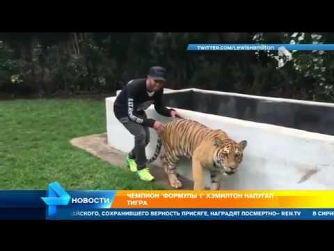 Чемпион  Формулы-1  Хэмилтон напугал тигра