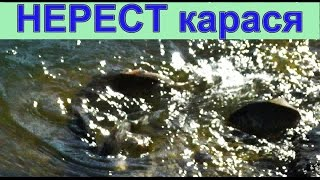Нерест Карася. Рыбалка. fishing(27 апреля. Нерест Карася. Температура воды +15 гр.С.….((Мой канал- это (в основном) канал ЛЮБИТЕЛЯ-рыболова или..., 2015-04-27T10:58:15.000Z)