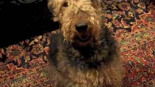 Cute Doggy Dogs  : Airedale Terrier & German Shepherd & Chow Mix &
