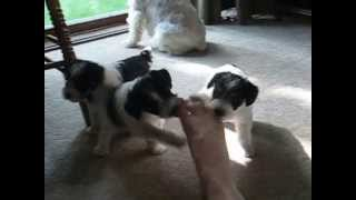 Miniature Schnauzer Puppies.....5 Weeks Old