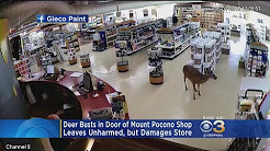 Deer Goes Shopping At Mount Pocono Store