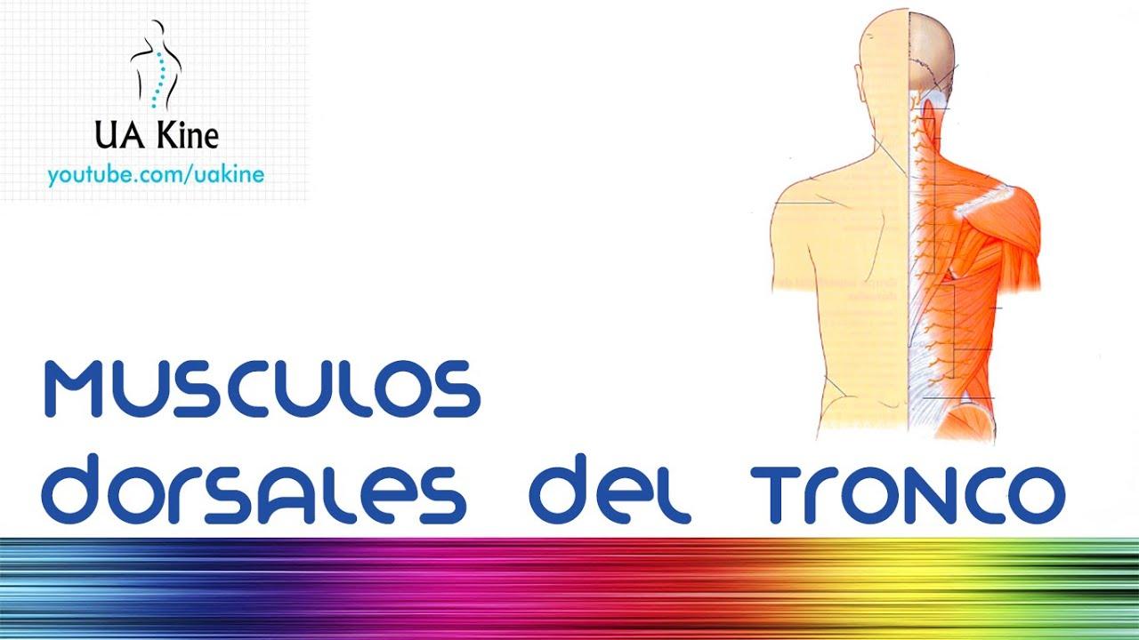 Anatomia Musculos dorsales de tronco espalda - YouTube