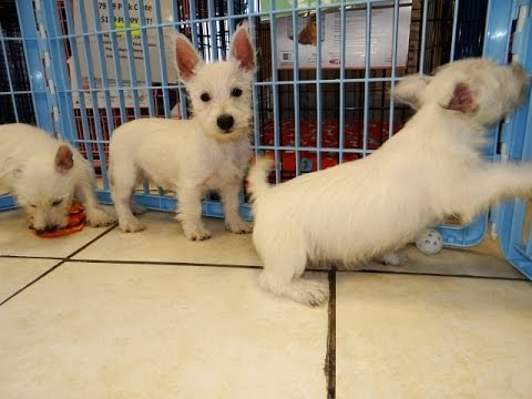 West Highland White Terrier, Westie, Puppies, Dogs, For Sale, In Columbia, South Carolina, SC