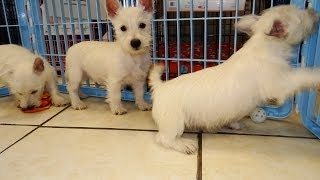 West Highland Terrier, Puppies, For, Sale, In, Raleigh, North Carolina, Nc, Lumberton, Kernersville,