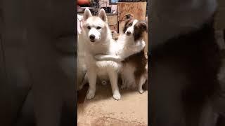 犬同士のハグ・真顔編 / ボーダーコリーさんとシベリアンハスキーさん #shorts
