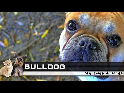 🐕 BULLDOG Dog Breed - Overview, Facts, Traits and Price