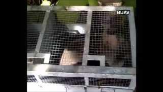 Captura de monos para los circos.