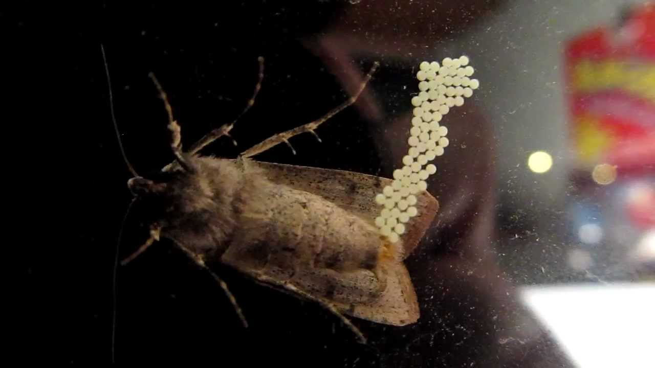 A Moth Laying Her Eggs Youtube
