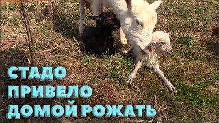 Стадо привело козу рожать домой