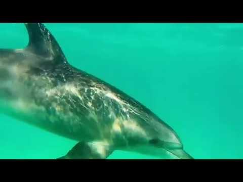 A single curious dolphin in the bay of Hurghada looks for company