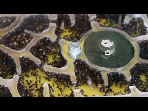 Elevage fourmis : Criquets et Princesses