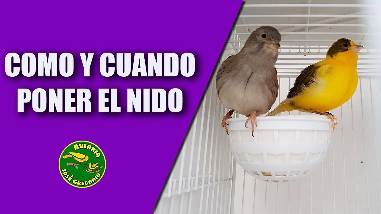 Cría Canarios Trucos Y Consejos Para Poner El Nido