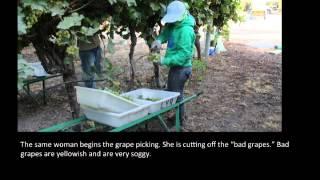 MCJ 30: Grape Picking Photo Essay - Stafaband