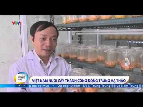 Việt Nam đã nuôi cấy thành công Đông Trùng Hạ Thảo