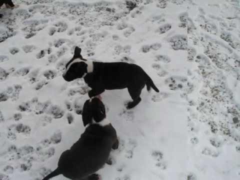 pitbulls puppies sale indianapolis