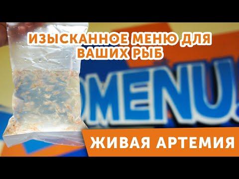 Артемия - живой корм для аквариумных рыб. Уникальный продукт уже в продаже!