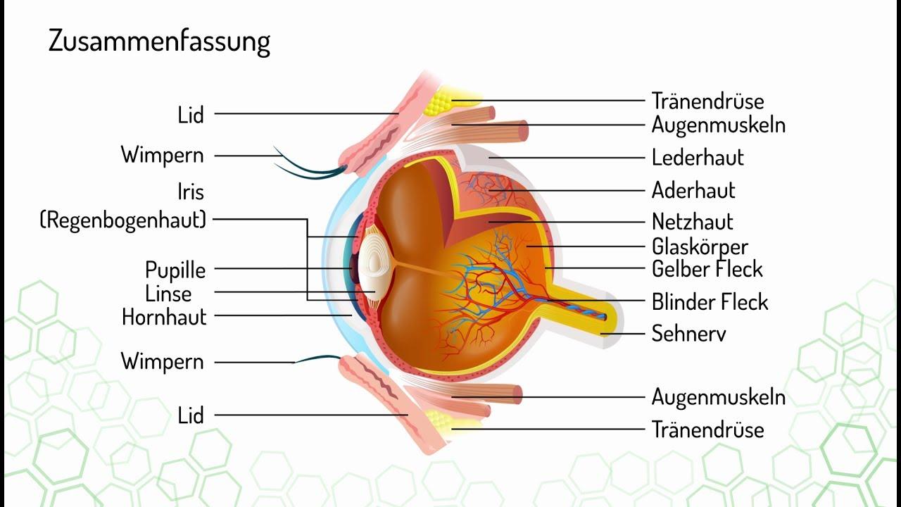 Wie ist das menschliche Auge aufgebaut Vorschau