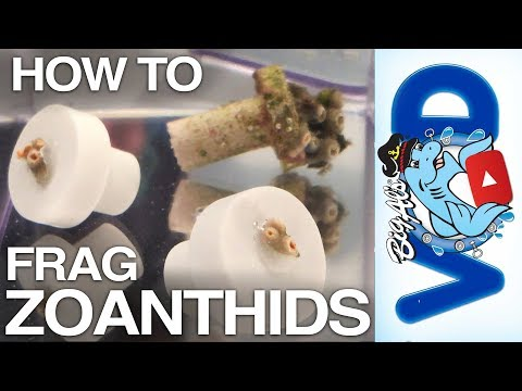 How To Frag Zoanthid Coral | BigAlsPets.com