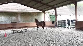 Calypso saut en liberté - Cheval à vendre