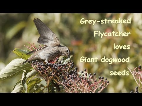 Grey Streaked Flycatcher ミズキに集まるエゾビタキ 信越の山 10月初旬 野鳥4K 空屋根FILMS#1105