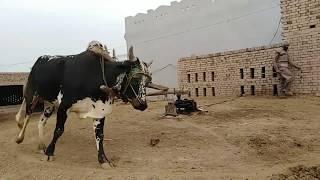 Bull race in punjab village culture of punjab pakistan