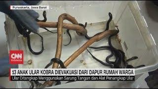 13 Ular Kobra Ditemukan di Dapur Rumah Warga