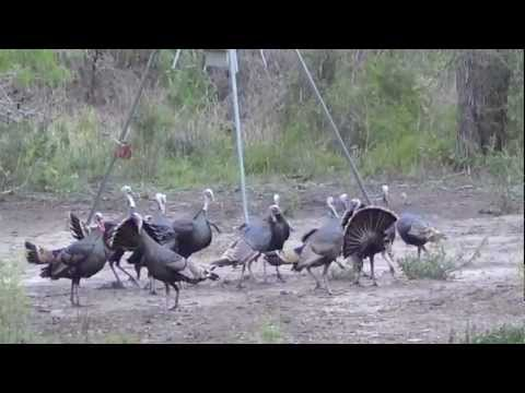 South Texas Turkeys! at the Freeborn Ranch (turkey blind)