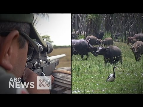 Buffalo Cull: Top End Rangers Deal With An Introduced Problem