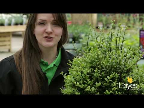 How to clip your topiary bush to shape