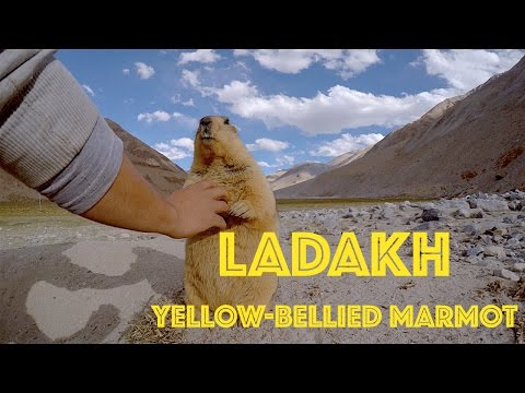 Yellow-Bellied Marmots VIdeo | CAMERAMA | Travel-vlog #2 | October 2016